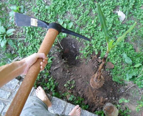 cavando buraco para plantar