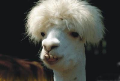 camelo irado, penteado profissional