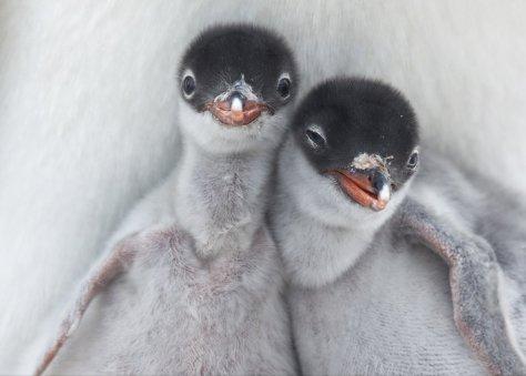 pinguins amigos de verdade